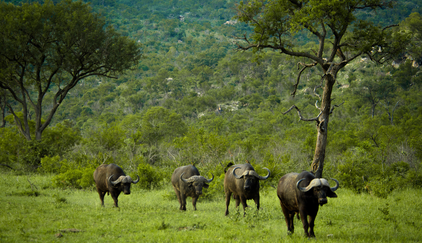 African Buffalo on the move