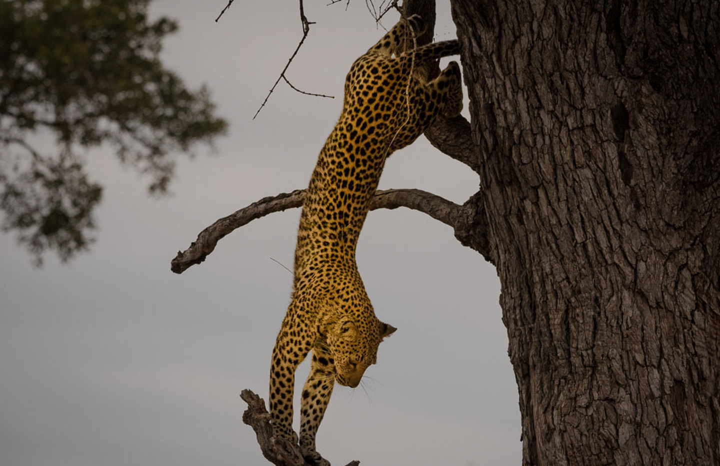 Leopard jumping out of tree