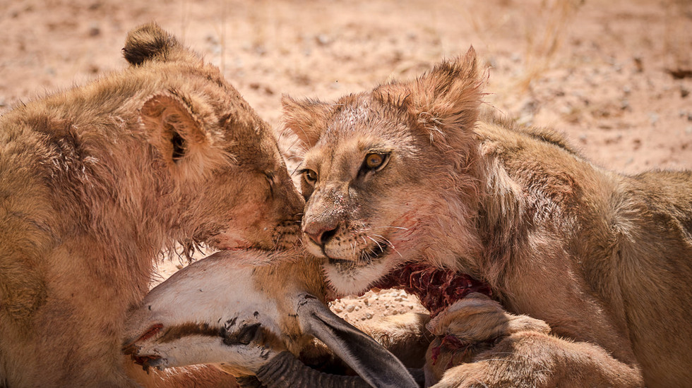 Young lions feasting on a Springbok