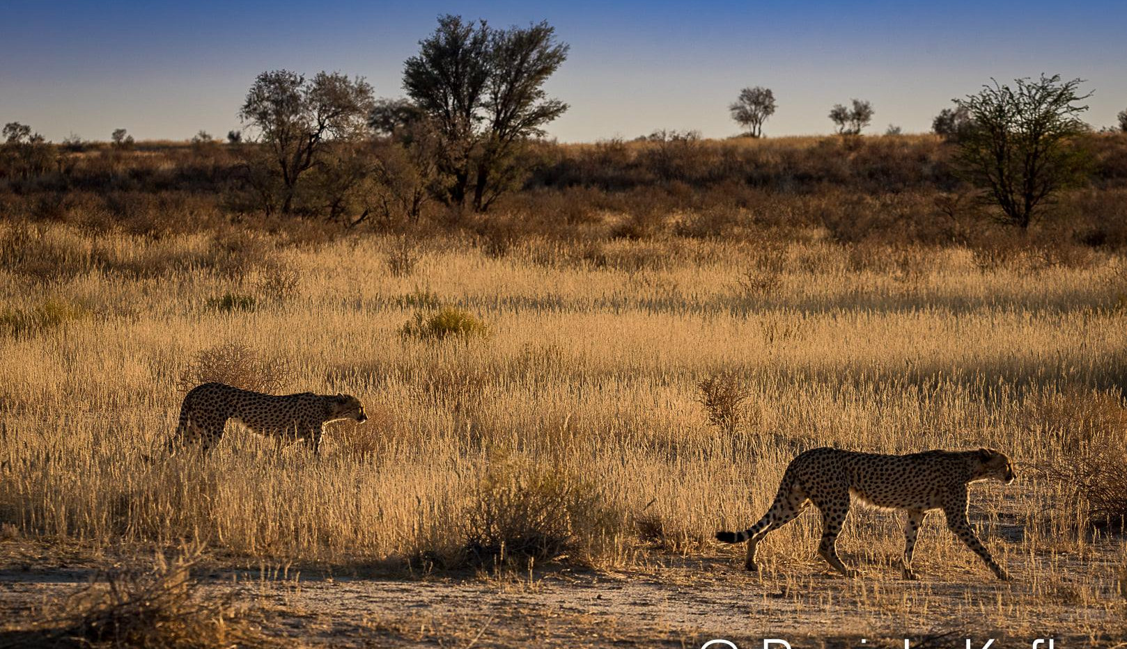 Cheetahs on the move