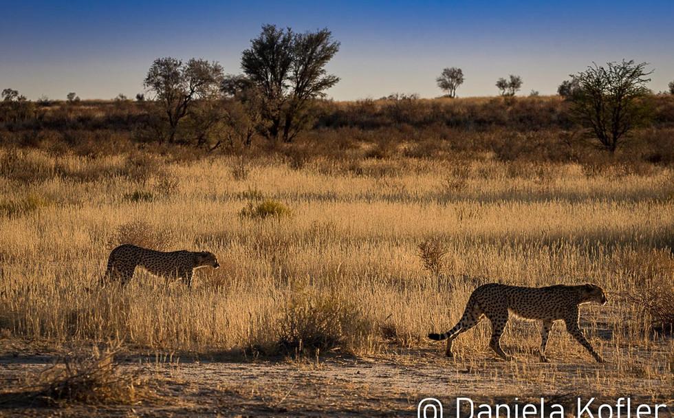 Cheetahs on the move