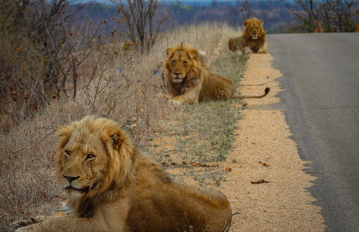 Lion coalition