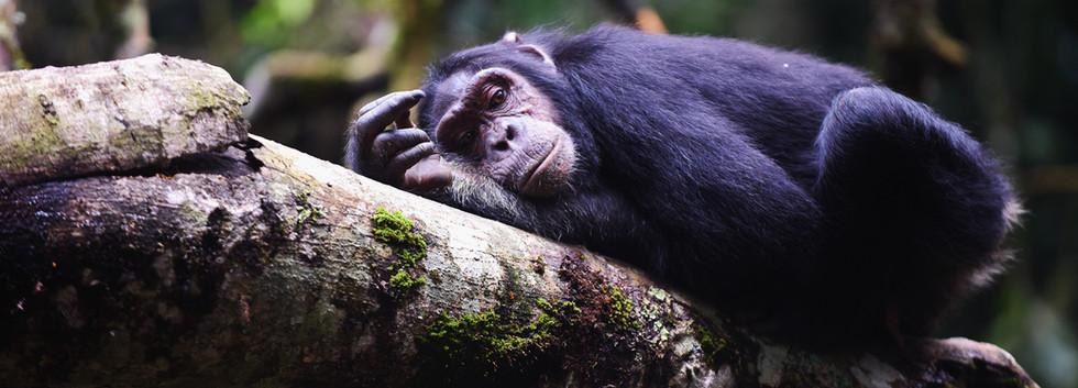 Gorilla resting