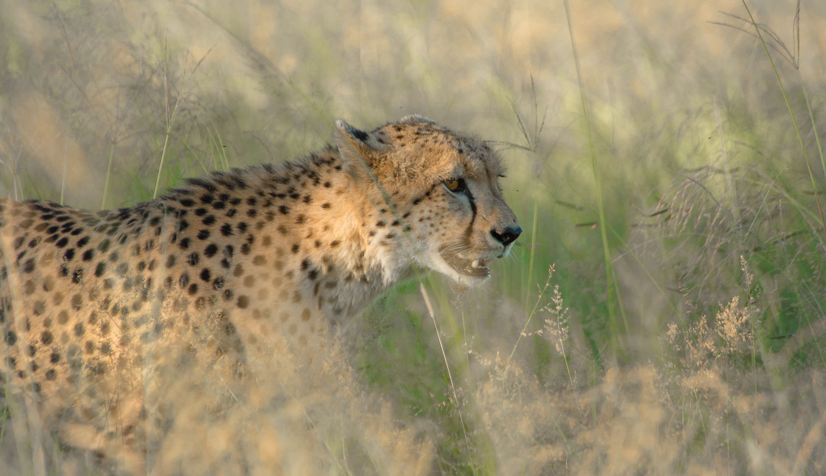Cheetah walking through the grasslands