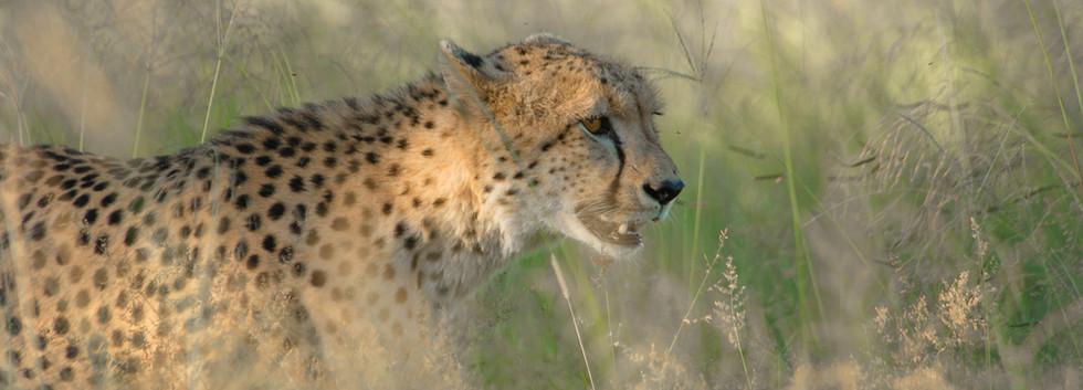 Cheetah walking through the grasslands