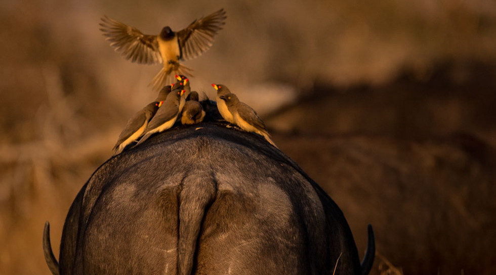 Yellow-billed Oxpeckers on buffalo
