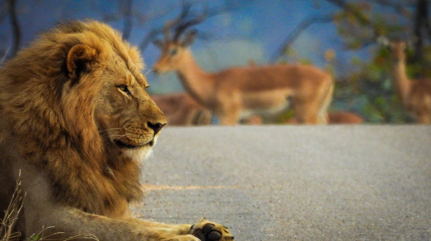 Male lion with Impala passing by in background