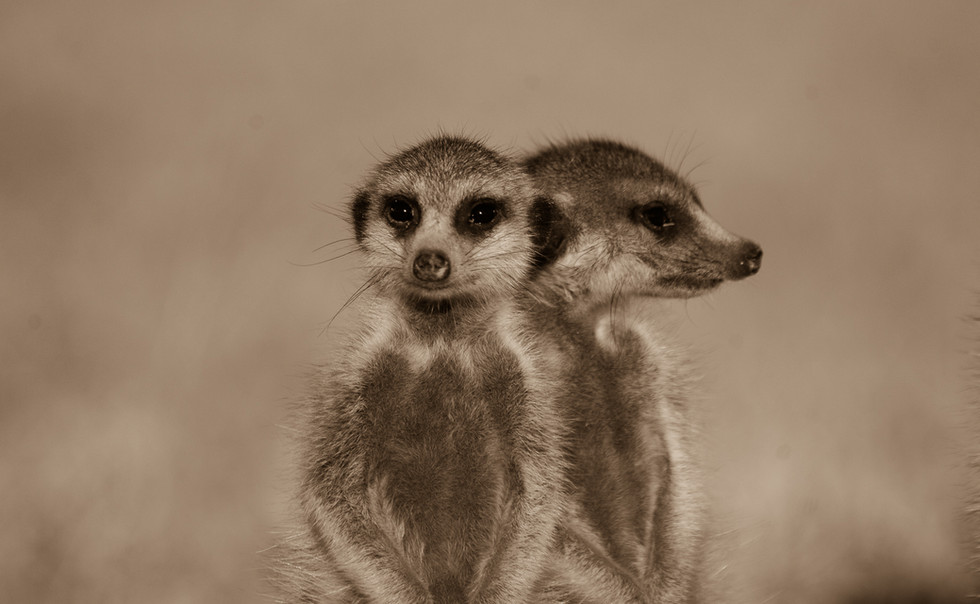 Suricate on the look out