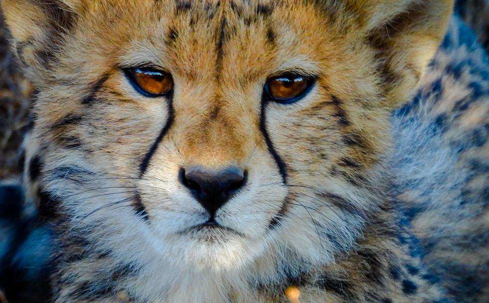 Cheetah cub close up