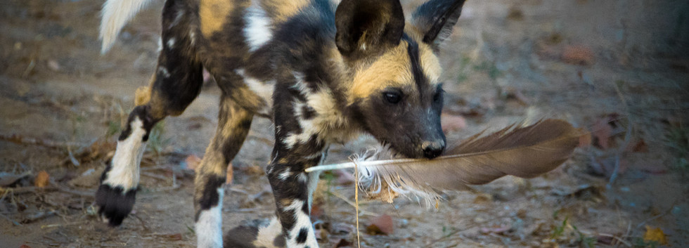 Wild dog pup playing with feather