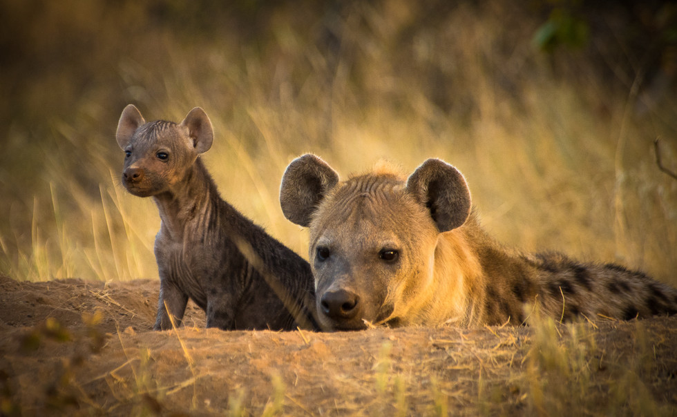 Spotted hyena mom and pup