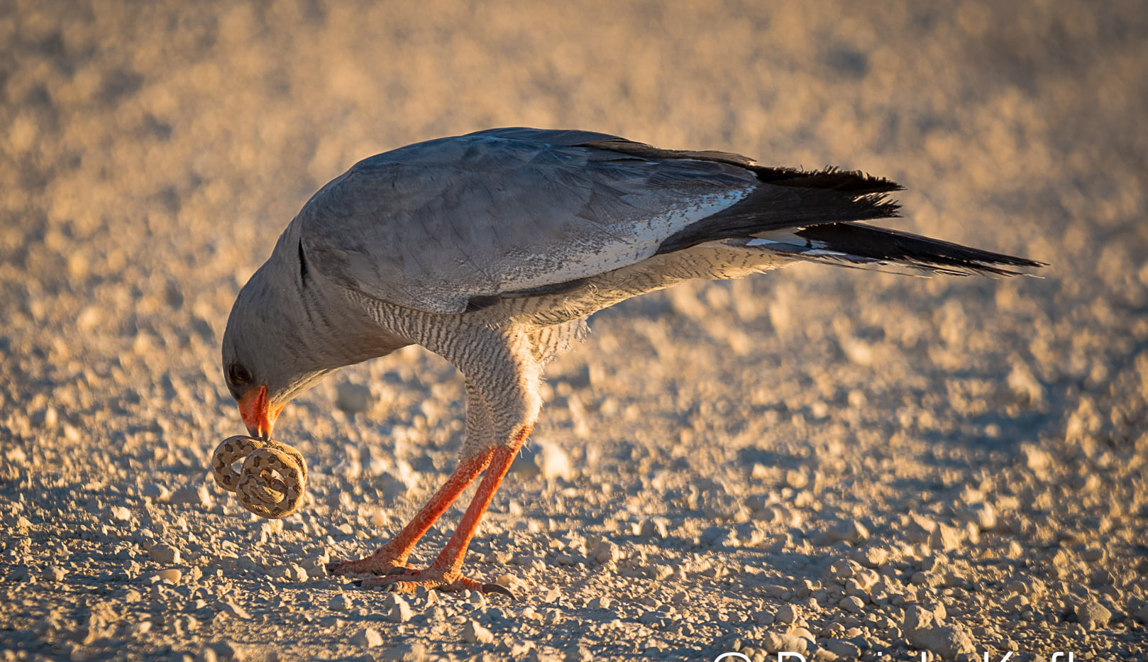 Pale-chanting Goshawk with snake