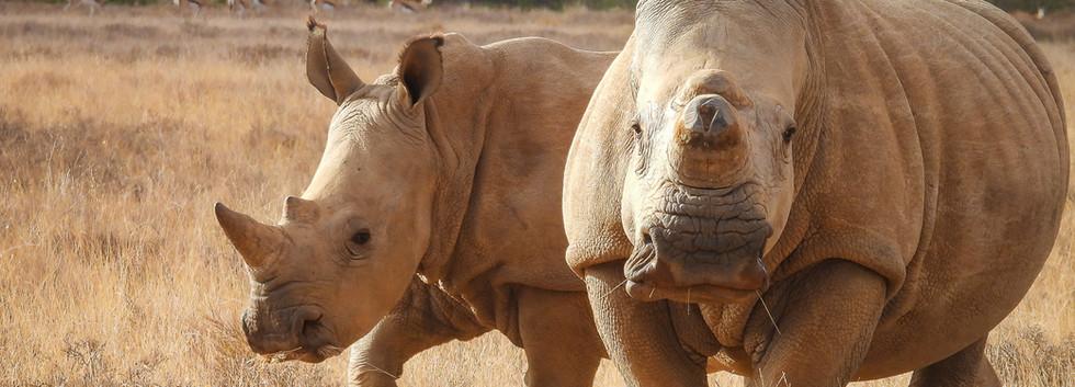 White rhino with calf