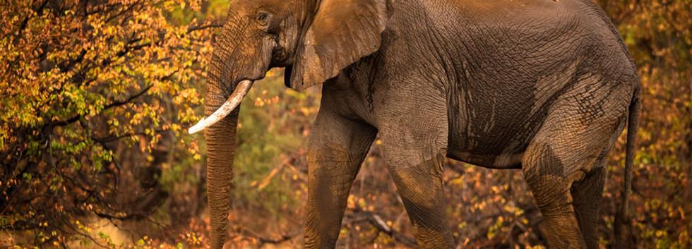 Big Elephant bul