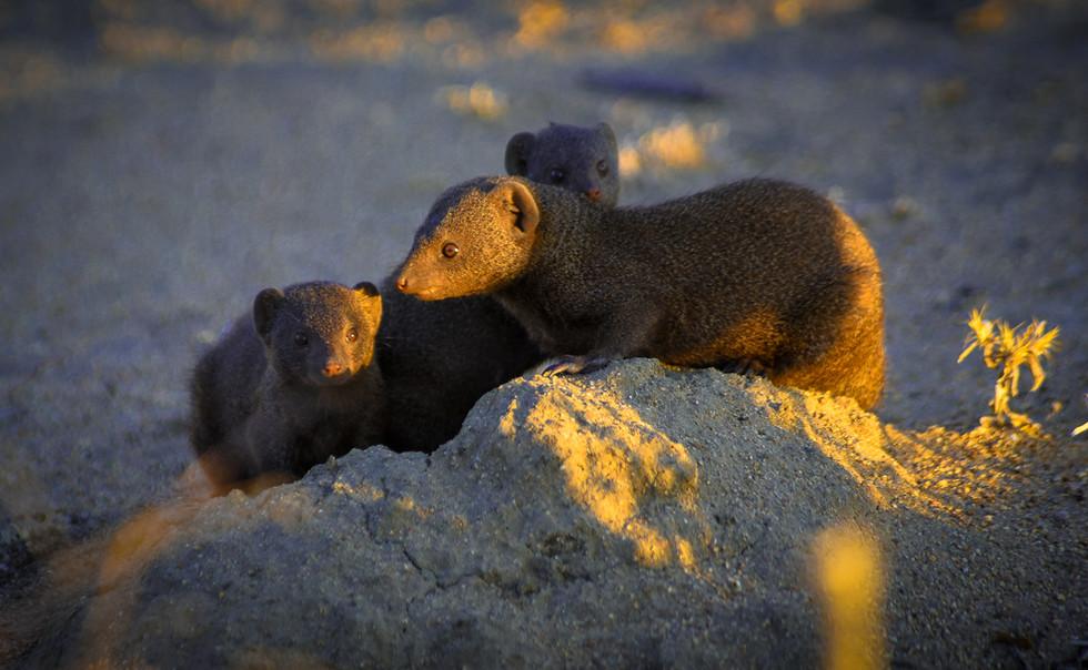 Dwarf mongoose family