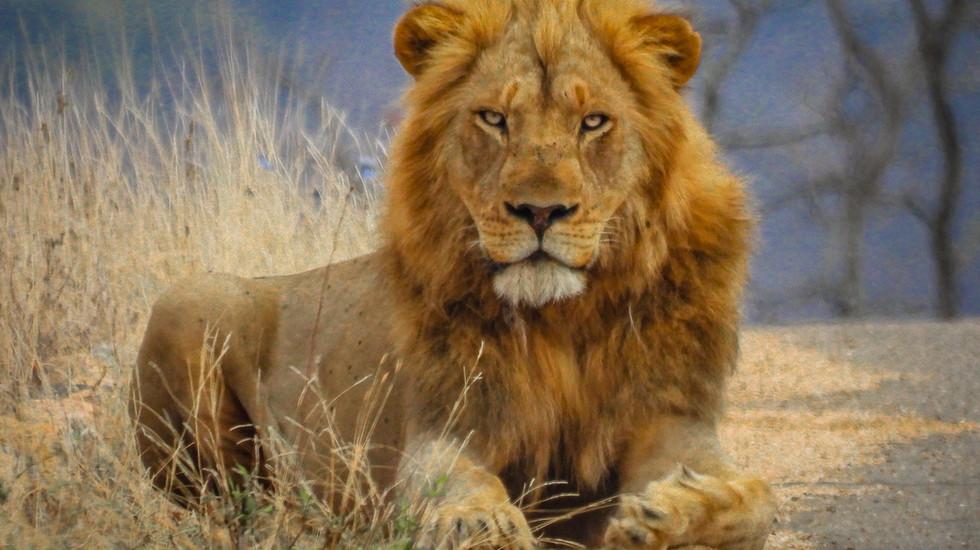 Impressive male lion