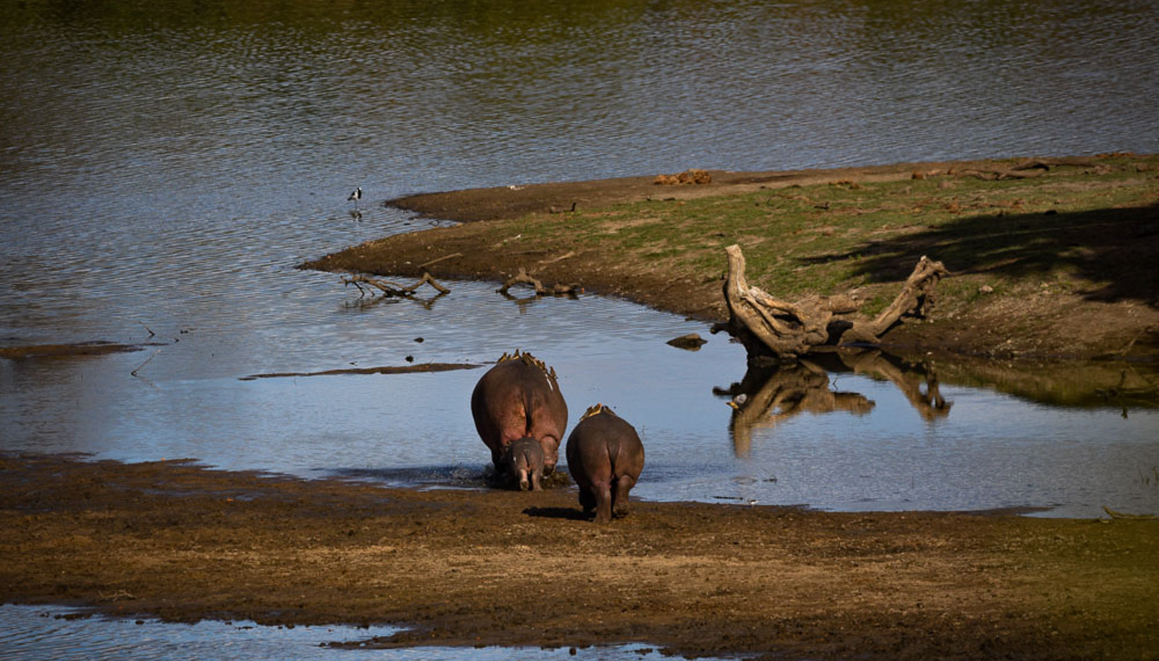 Hippo's on the move back to the water