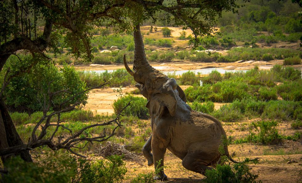 Elephant reaching for fresh leaves