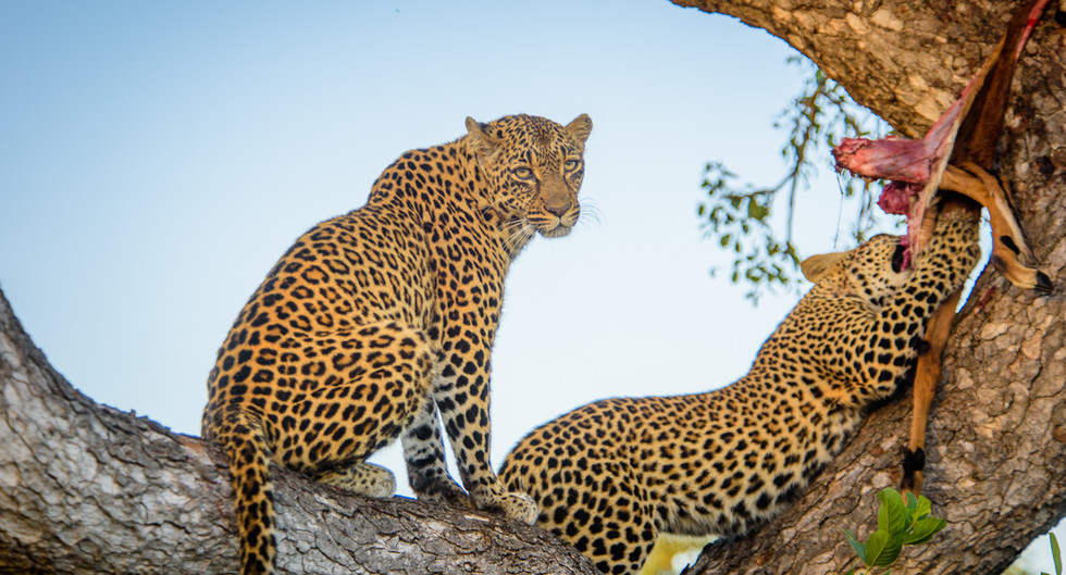 Leopard with her cub feasting on Impala