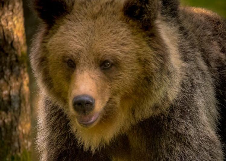 Brown bear portret