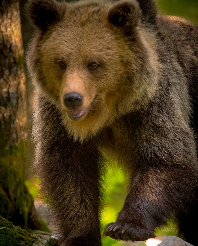 Brown bear portret
