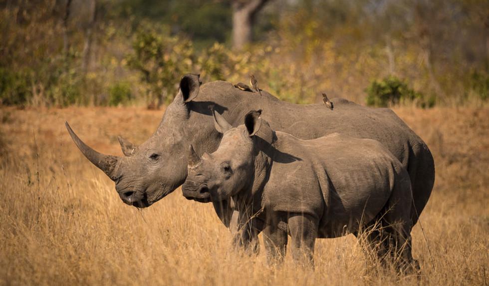 White rhino with juvenile calf