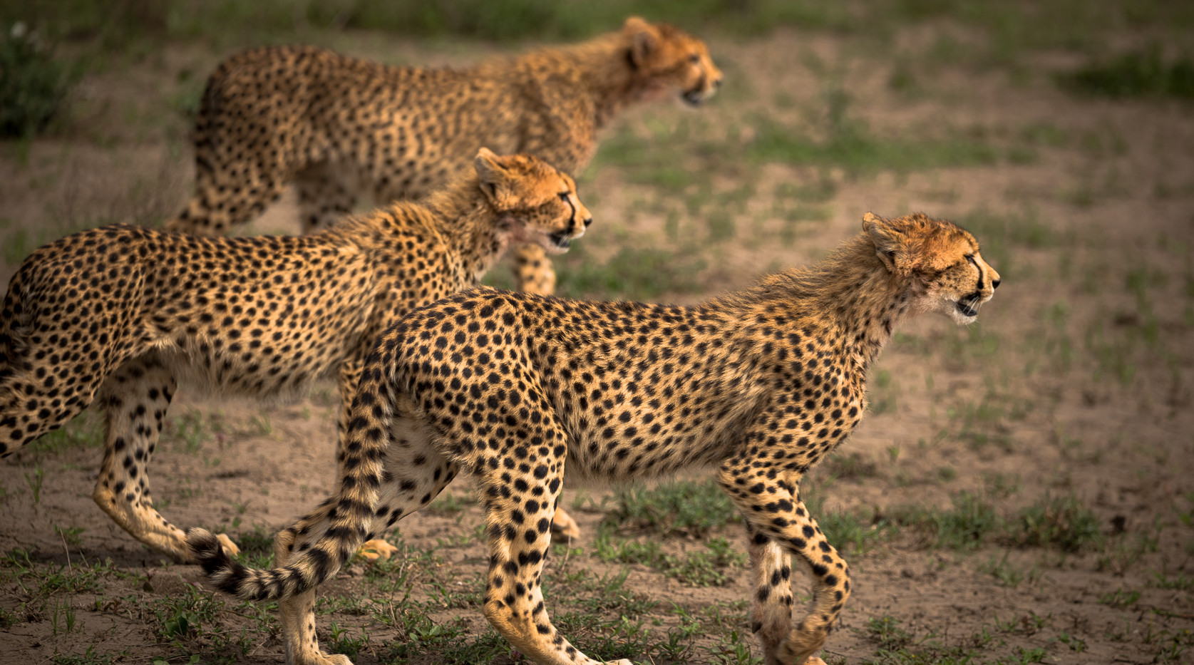 Cheetah trio on the move