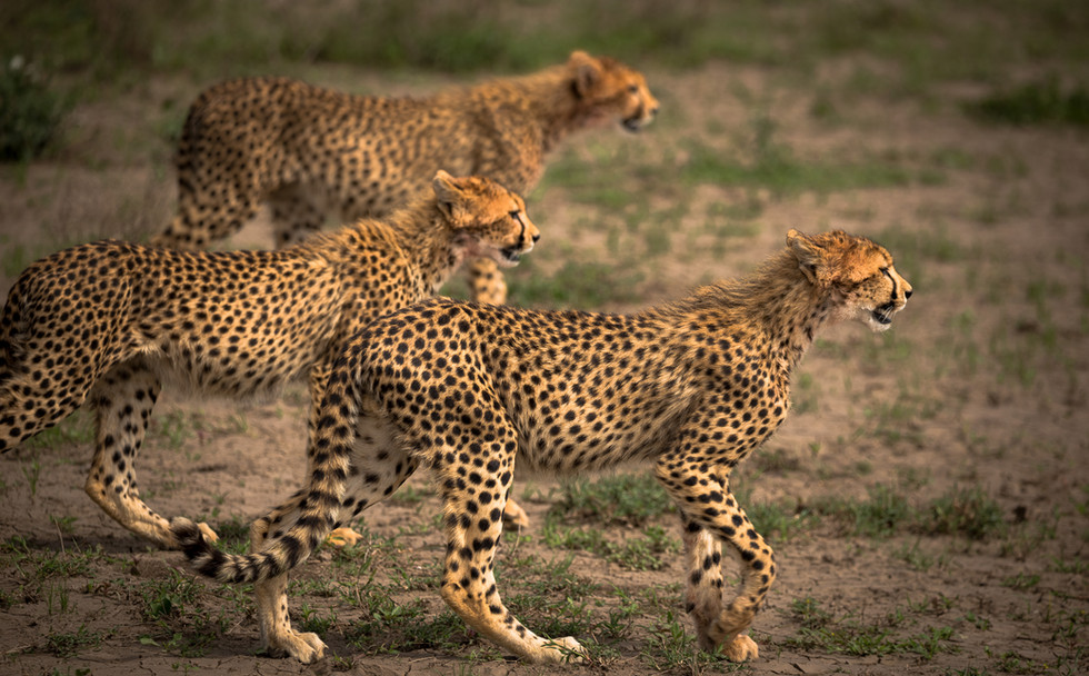 Cheetah trio on the move