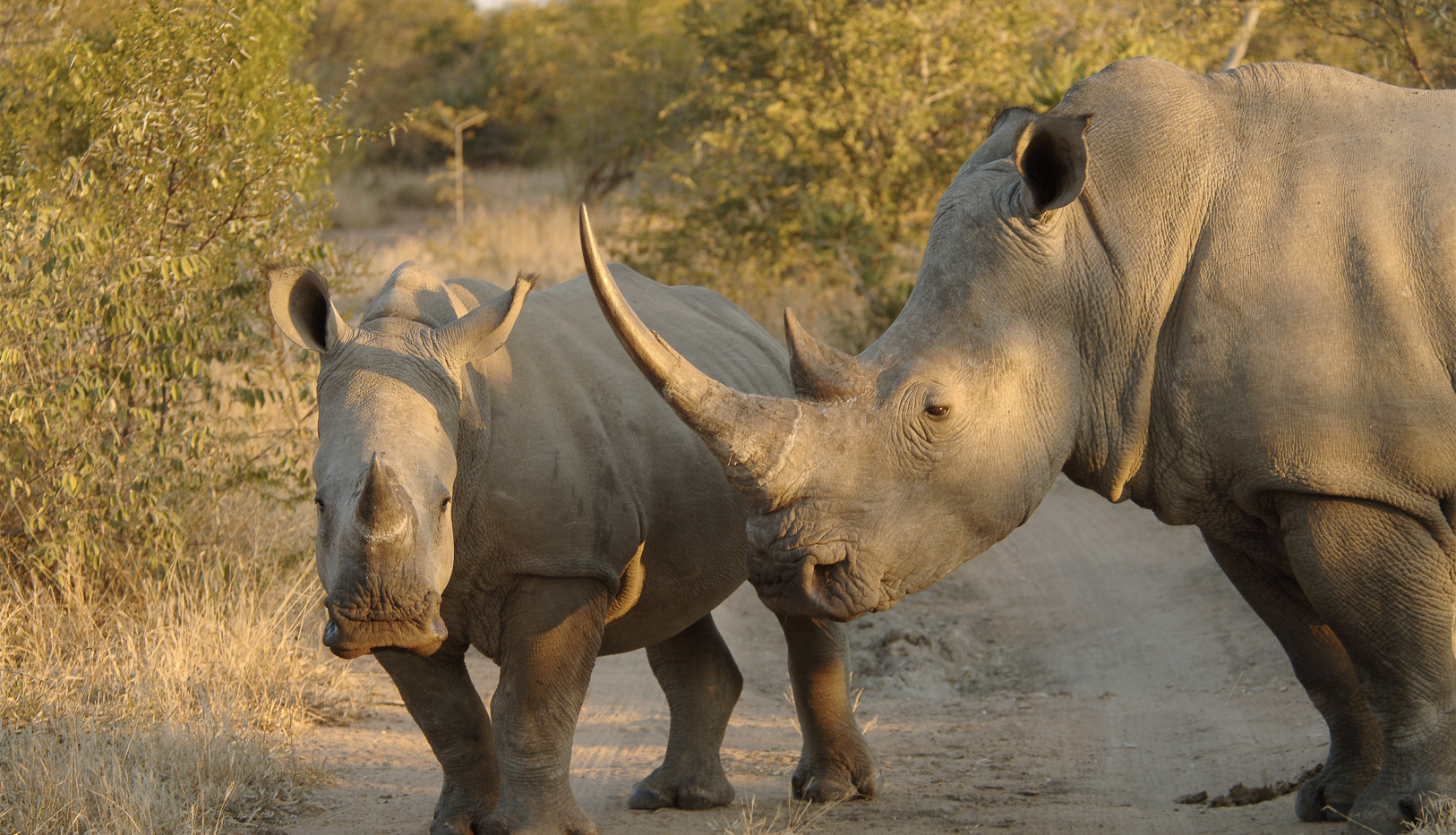 White rhino with huge rhino horn