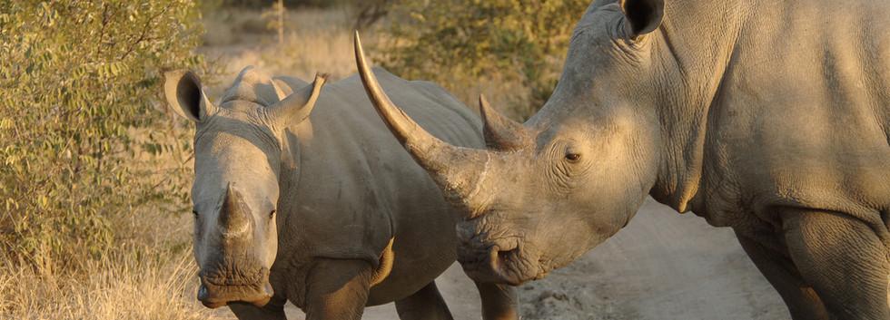 White rhino with huge rhino horn