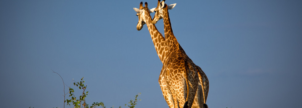 Giraffes on th move