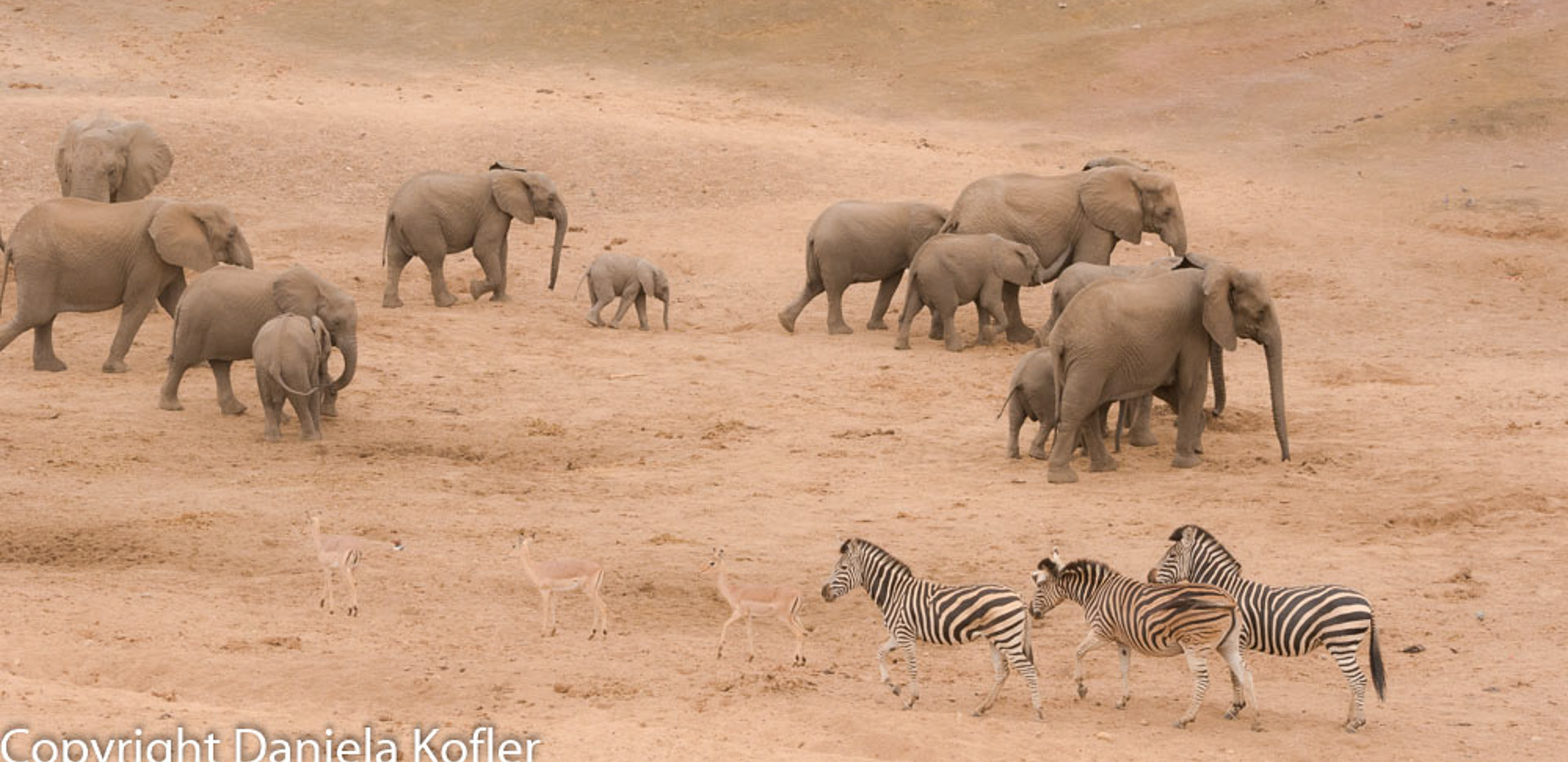 Breeding herd of elephants on the move with zebra