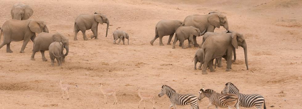 Breeding herd of elephants on the move with zebra