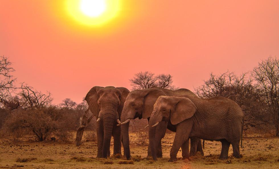 Elephant trio at sunset