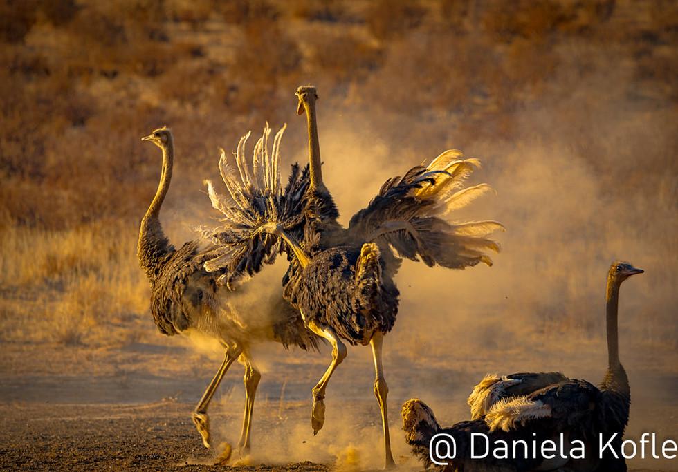 Ostrich dance