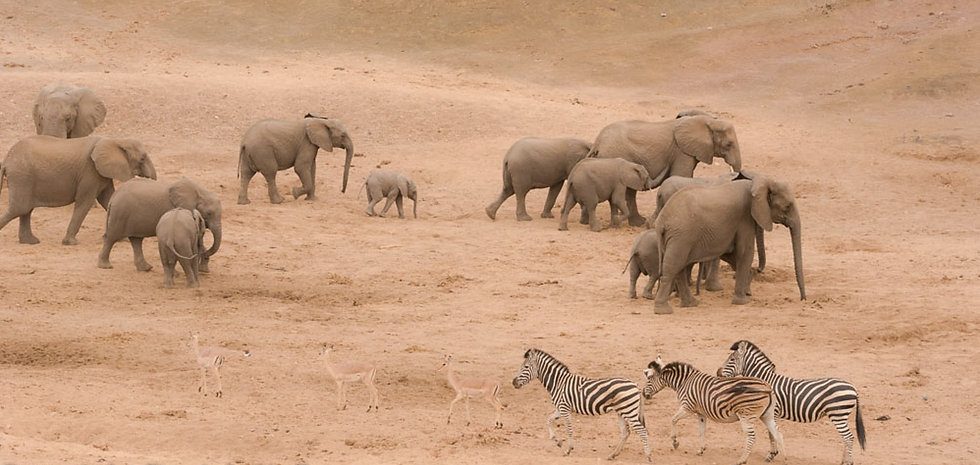 Elephant and zebra on the move in riverbed