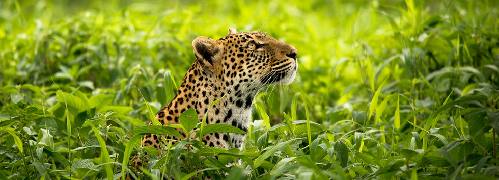 Leoprd in the grass
