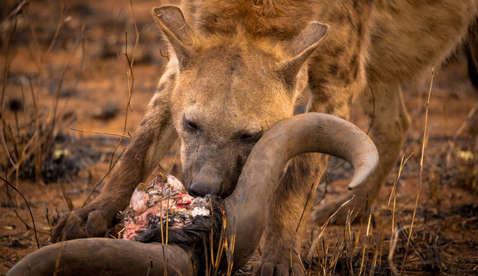 Hyena feeding on a carcass