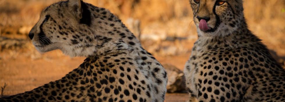 Cheetah males