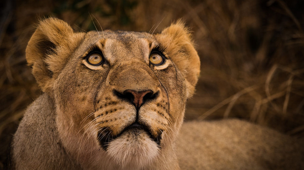 Lioness looking up at vultures