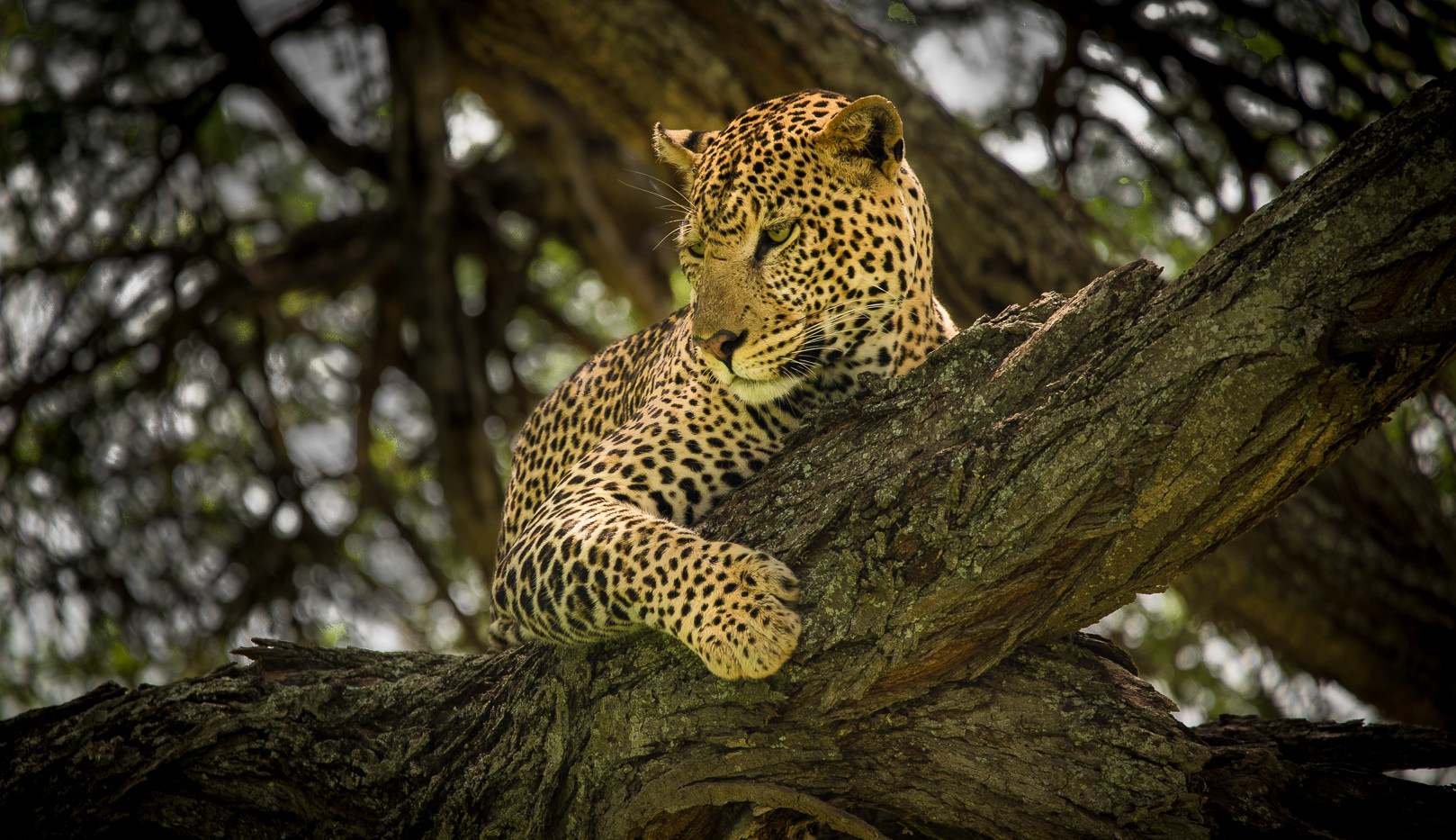 Leopard scanning area from a tree