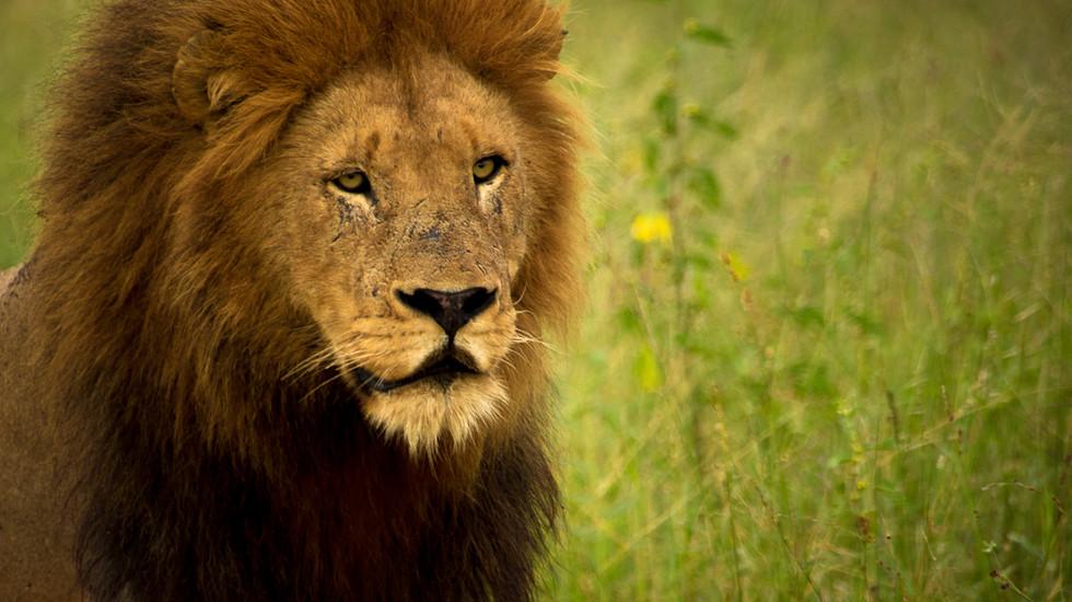 Beautiful lion