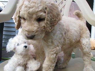 f1b Goldendoodle Puppy 5.jpg