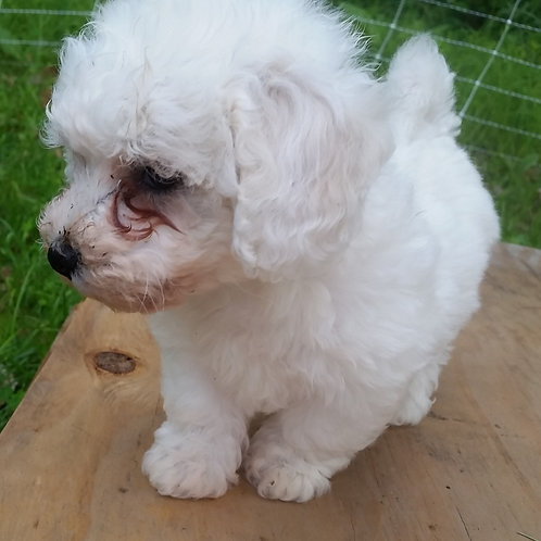 Bichon Puppies Nov '18 pre-birth deposit