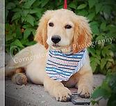 Buddy puppy cr.jpg