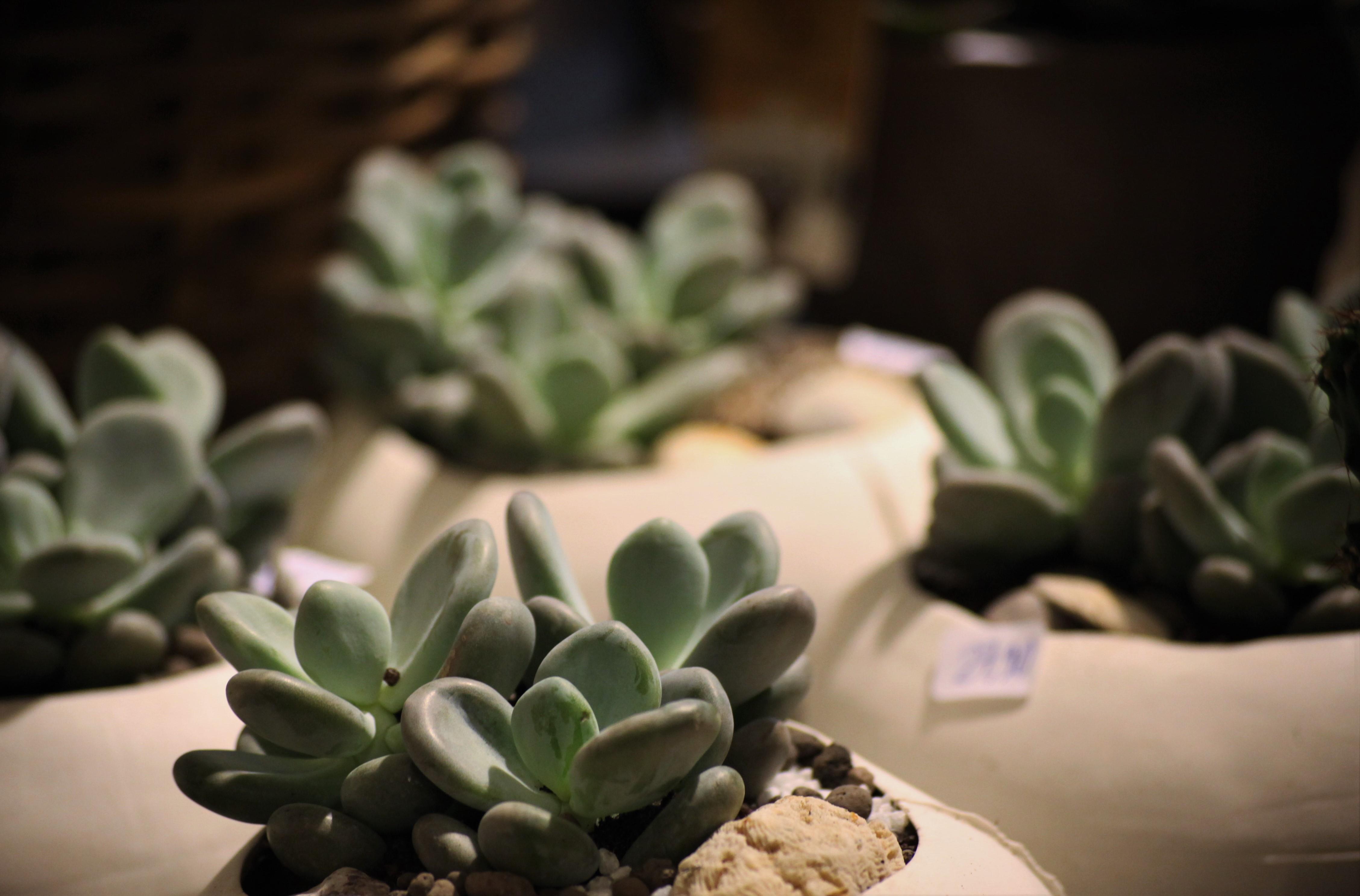 plantes-sedums-lhollebecq