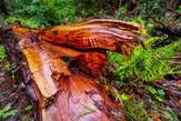 79446959-le-beau-bois-rouge-de-l-arbre-de-cdre-rouge-de-l-ouest-californie.jpg