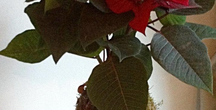 Euphorbia Pullcherrima