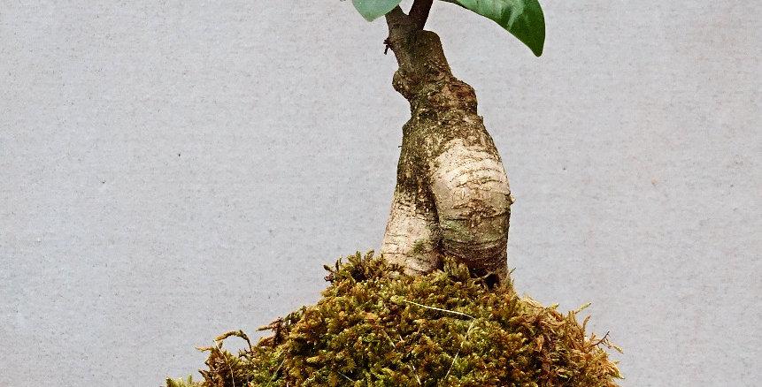 Ficus Ginseng (Bonsai)