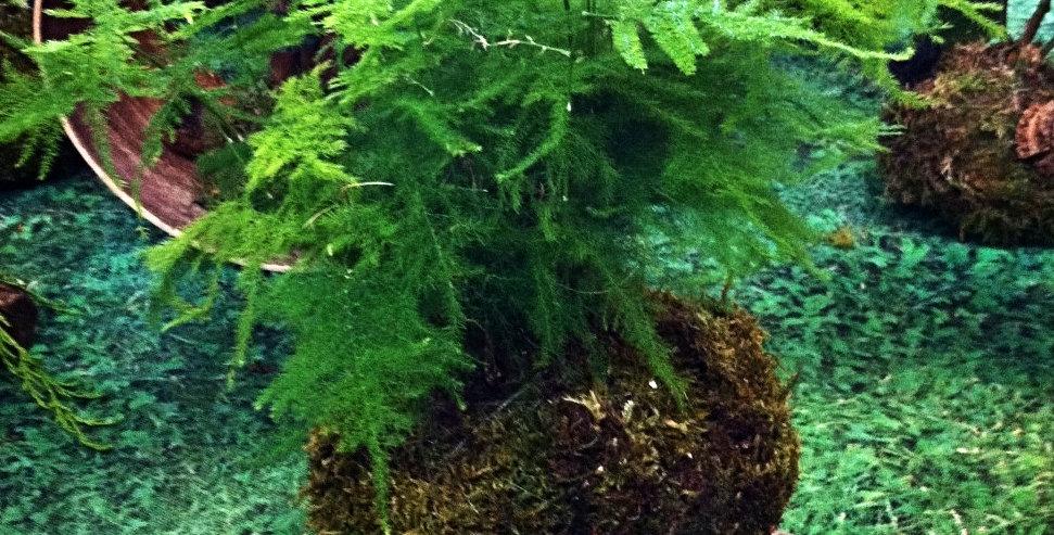 'Asparagus plumosus' Asparagus setaceus